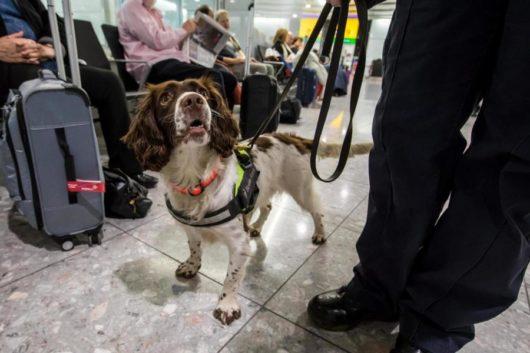 Pies który wykrył przemyt miliona funtów !